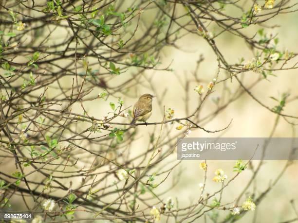 nature. common chiffchaff. (phylloscopus collybita) - aquatisches lebewesen stock-fotos und bilder