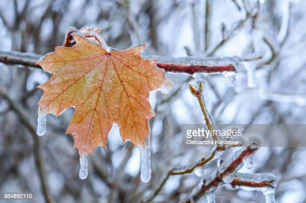 nature encased in ice after a storm. icicles on red maple leaves. - istock photos et images de collection