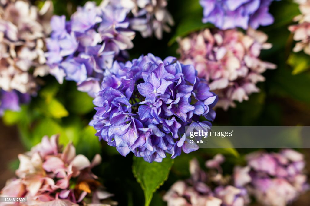 Nature Fleur Hortensia Stock Photo Getty Images
