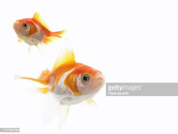 nature: goldfish love