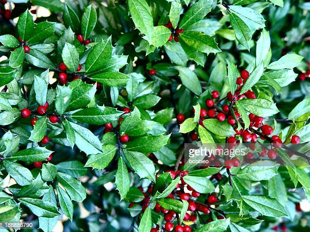 nature - holly and berries