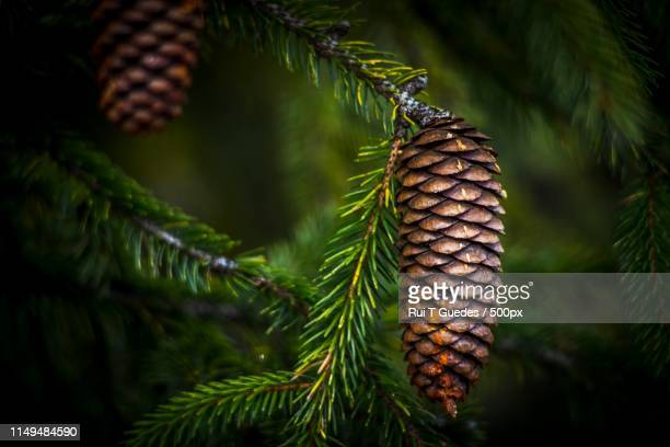 nature image - pinecone stock pictures, royalty-free photos & images