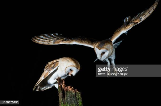 nature image - barn owl stock pictures, royalty-free photos & images