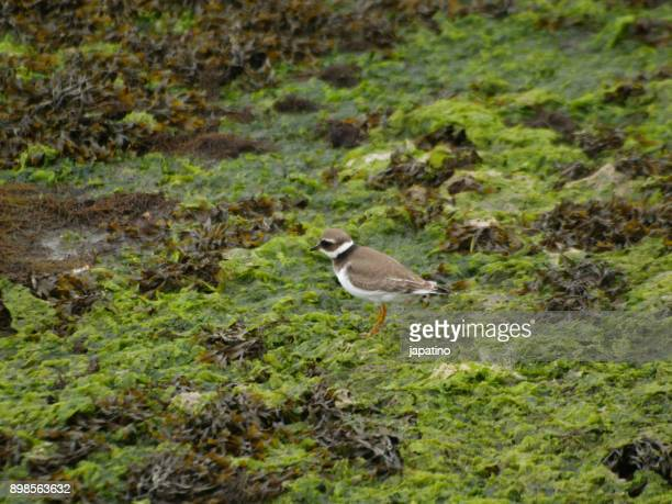 nature. kentish plover. (charadrius alexandrinus) - kentish plover stock pictures, royalty-free photos & images