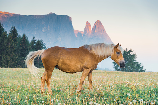 Nature landscape background with Horses grazing freely in a green meadow dolomites  italy 1248667636