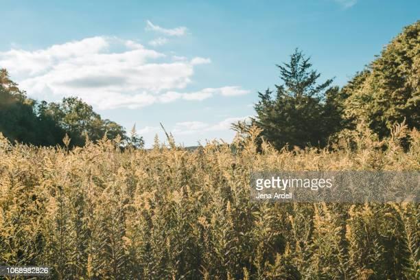 nature, landscape, ragweed, allergy, allergen, allergy season, outdoors, landscape no people - ambrosia stock-fotos und bilder