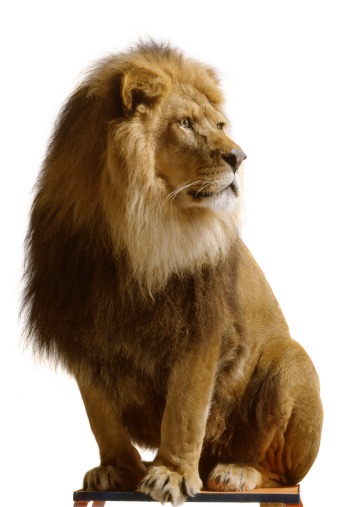 Nature: Lion Isolated on White Background 182396370