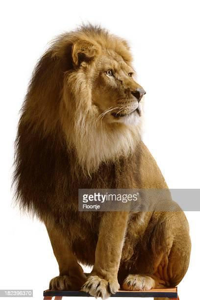 Natur: Lion