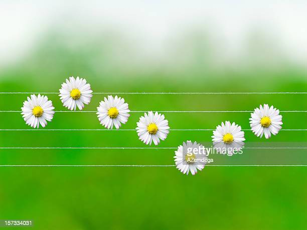 Nature melodies: Daisy