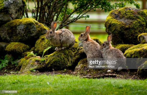 nature photograph of group of three wild rabbits - rabbit stock pictures, royalty-free photos & images