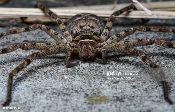 nature photograph of huntsman spider - huntsman spider stock pictures, royalty-free photos & images