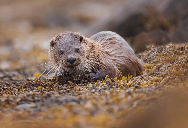 Nature photograph of otter