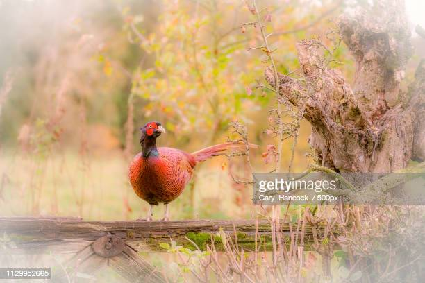 Nature photograph of pheasant rooster