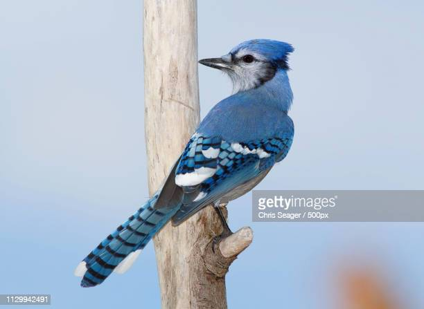 Nature photograph of blue jay (Cyanocitta cristata)