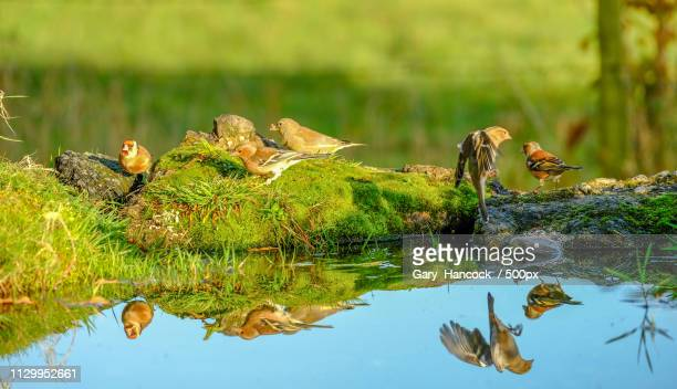 Nature photograph with group of chaffinch (Fringilla coelebs) birds