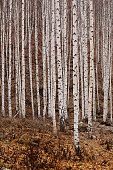 thewhite birch