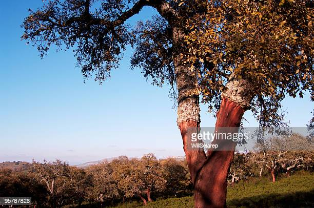 nature - cork tree stock photos and pictures