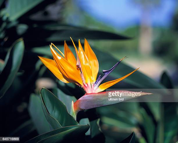 nature plant life plant flower blossom bloom crane flower Strelitzia reginae Spain Canary Islands Tenerife