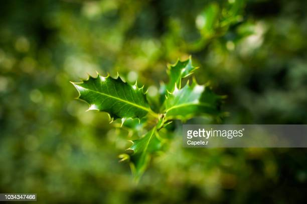 nature - plante - houx - houx stock pictures, royalty-free photos & images