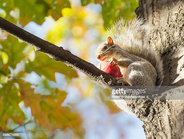 Nature scenes Squirrel sitting on maple tree branch holding a fruit at a park in Toronto Canada