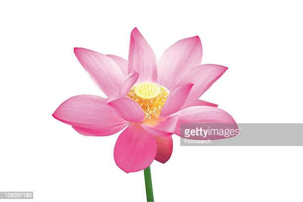 Nature, Stem, Petal, Fragility, Lotuses