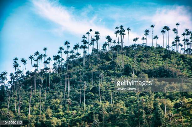 nature: valle del cocora, salento, quindío, colombia. - valley stock pictures, royalty-free photos & images