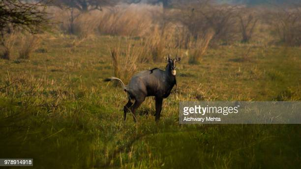 nature's call - nilgai stock photos and pictures