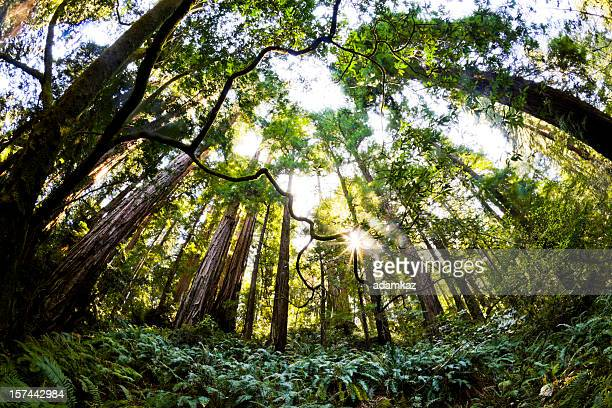 nature's touch - muir woods stock photos and pictures