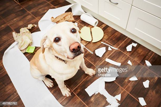 Naughty dog - Lying dog in the middle of mess in the kitchen