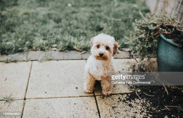naughty pooch looks up innocently after making a mess digging in flower beds - training grounds ストックフォトと画像