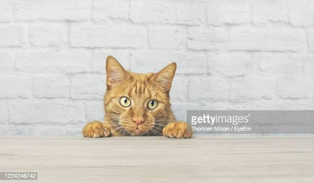 naughty red cat is looking curious up to the table. - トラ猫 ストックフォトと画像
