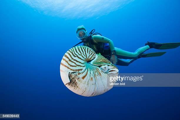 Nautilus and Diver Nautilus pompilius Great Barrier Reef Australia