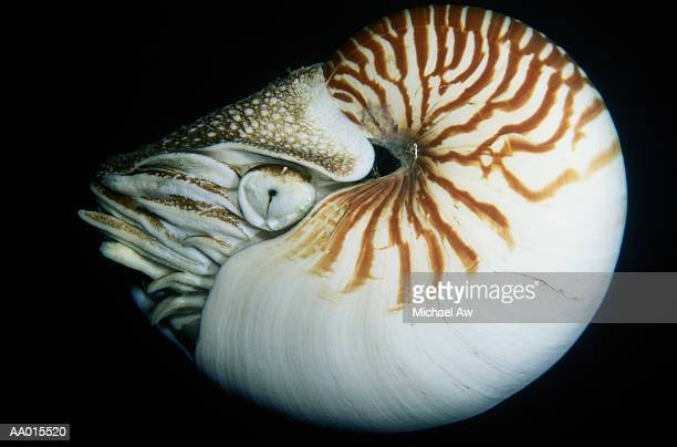 Nautilus Close-Up
