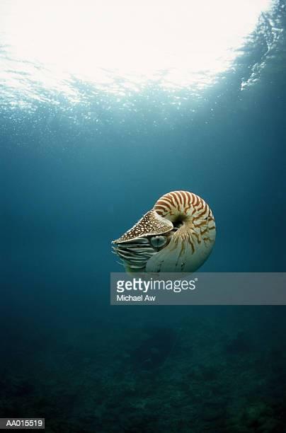 nautilus floating - nautilus stock pictures, royalty-free photos & images