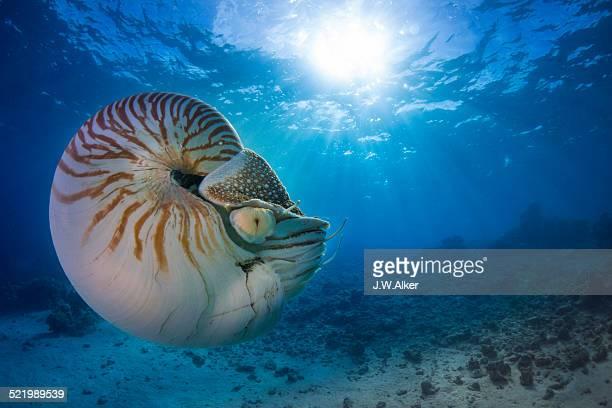 Nautilus -Nautilus belauensis-, Palau