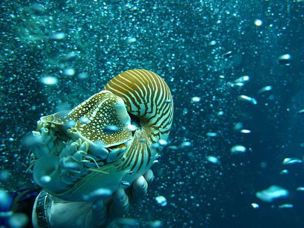 Nautilus of Palau