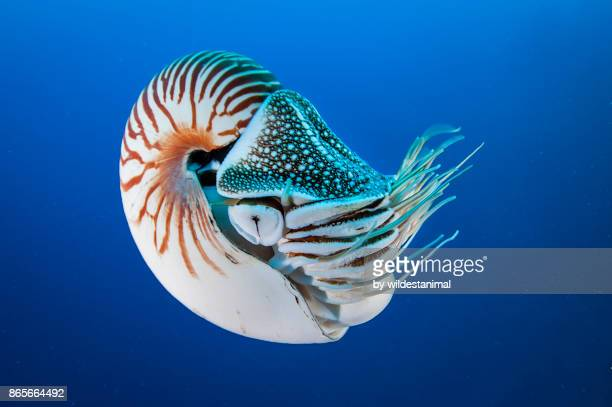 nautilus swimming in blue water, palau, micronesia. - animal eye stock pictures, royalty-free photos & images