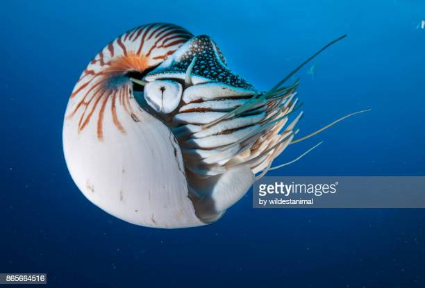 Nautilus swimming in blue water, Palau, Micronesia.