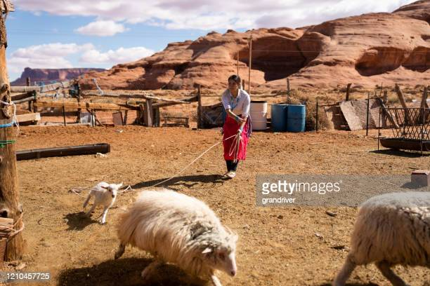 a navajo teenage girl in a sheep pen roping a young lamb - native american reservation stock pictures, royalty-free photos & images