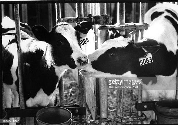 11/07/94 Naval Academy Dairy Farm Grambrills MD Calves in the barn at the Farm CREDIT CRAIG HERNDON twp