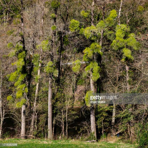Of Mistletoes Stock Pictures Royalty Free Photos Images Getty