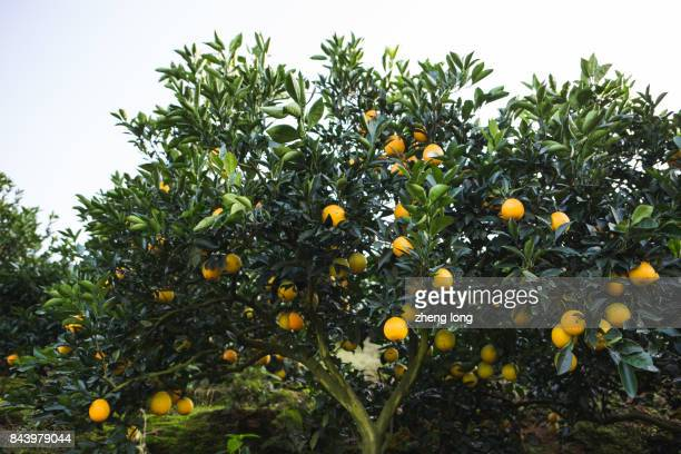navel orange orchard in jiangxi province,china - navel orange stock photos and pictures