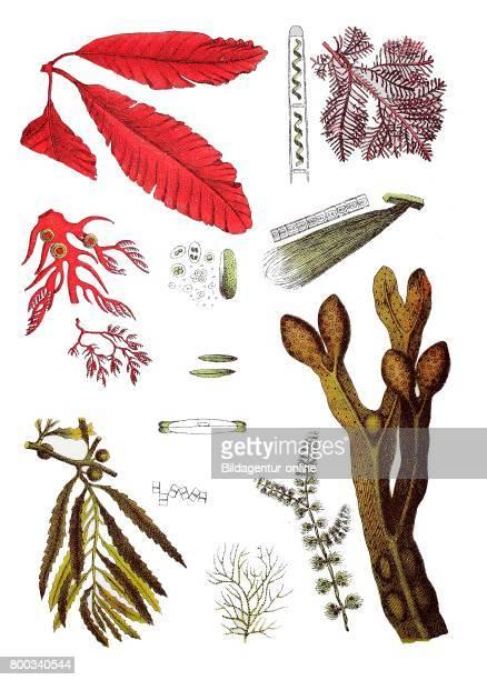 Navicula Navicula viridis Alga Diatoma flocculosum Alga Frustulia Spirogyra Spirogyra quinina Alga Protococcus viridis Alga Conferva linum Bladder...
