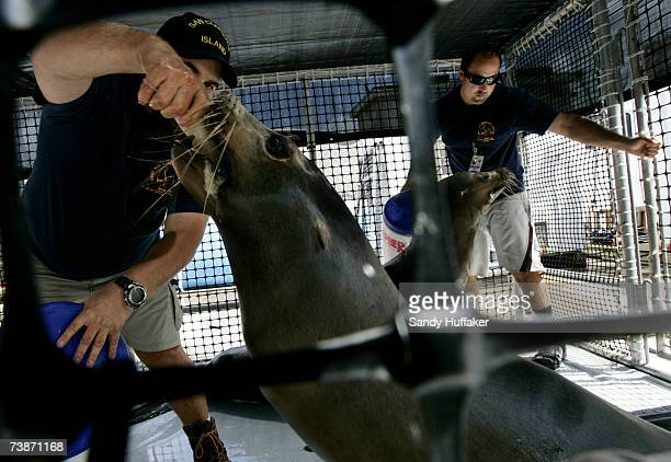 Navy marine mammal handlers feed sea lions in their pen before a training exercise at Naval Base Pt. Loma on April 12, 2007 in San Diego, California....