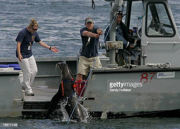 Navy marine mammal handlers train a sea lion to detect underwater ordinance during a training exercise at the Space and Naval Warefare Systems Center...