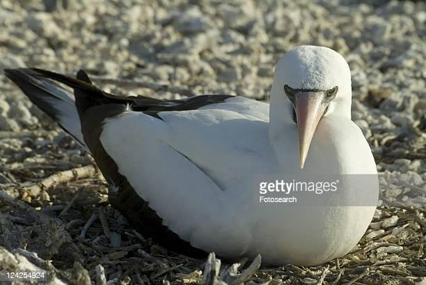 nazca (masked) booby (sula dactylatra). galapagos. - rotspelikaan stockfoto's en -beelden