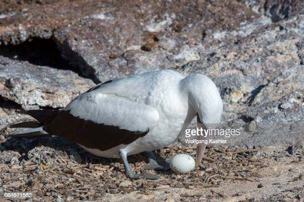 Nazca booby with egg on Genovesa Island in the Galapagos Islands Ecuador