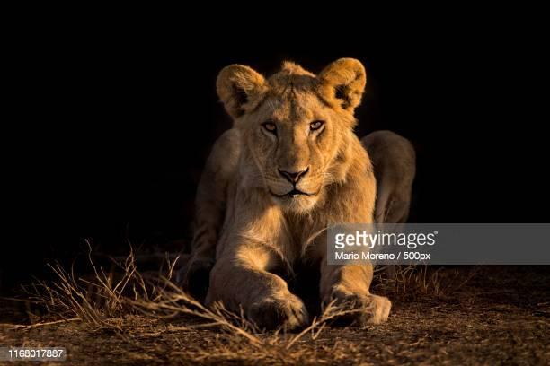 ndutu lion cub - caldera stock pictures, royalty-free photos & images