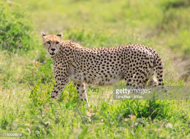 ndutu serenegti and ngorongoro safari - ngorongoro conservation area stock pictures, royalty-free photos & images