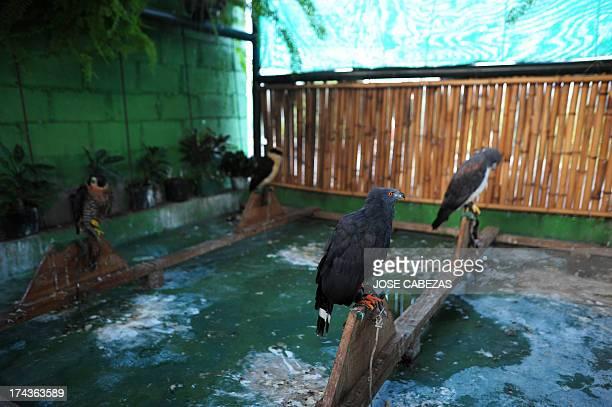 A ne Hawk remains at the Salvadorean Bird Rescue center in Apopa 12 km north of San Salvador El Salvador on July 18 2013 The bird rescue center...